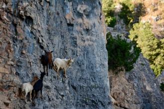 Les chèvres de Rodellar au Dauphin